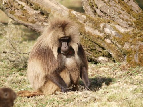 Gelada Baboon, endemic Ethiopian mammal, in Simien Mountains