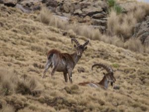 Walia Ibex, endemic mammal, in Simien Mountains, Ethiopia