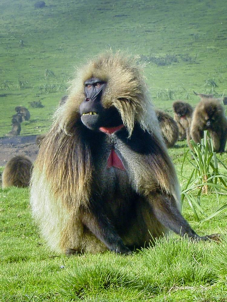 Gelada Baboon, endemic Ethiopian mammal, in Simien Mountains
