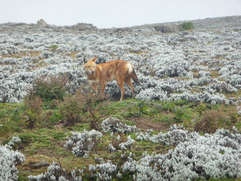 Abyssinian wolf, endemic Ethiopia mammal, in Bale Mountains