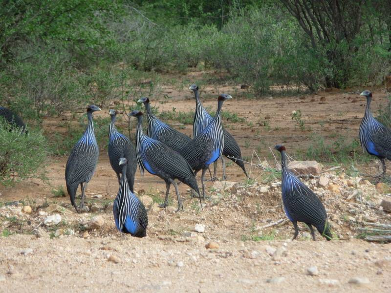 Guinea fowl in Omo Valley, South Ethiopia