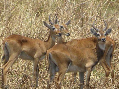 Bubale Swayne, endemic mammals in Ethiopia