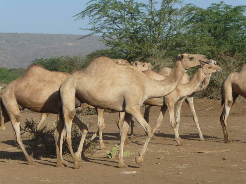 Camels in Yabello, South Ethiopia