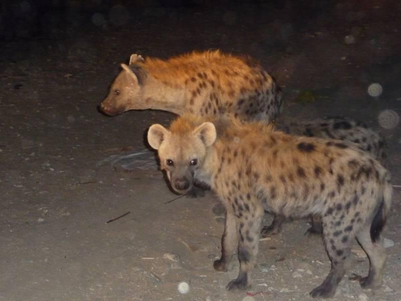 Hyena in Harar, East Ethiopia