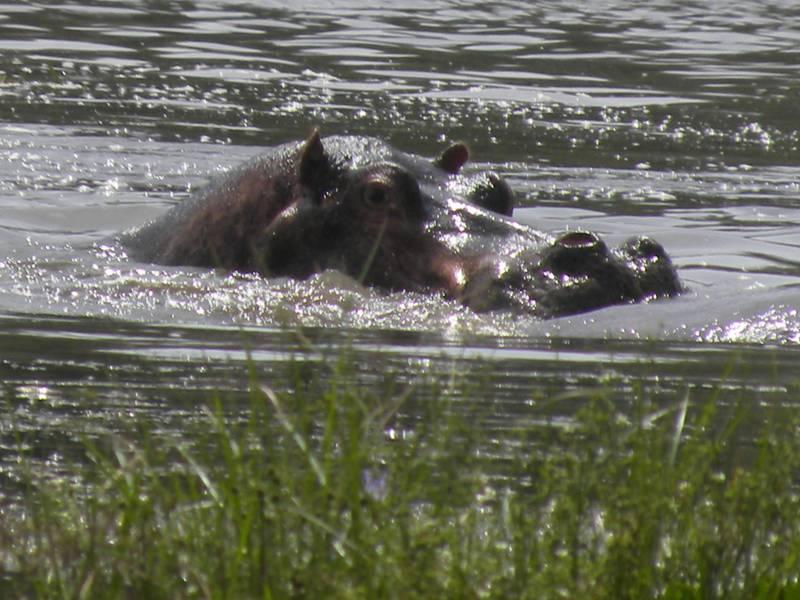 Hippos in Chamo Lake, Omo Valley Gateway, South Ethiopia