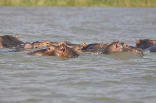 Hippos in Chamo Lake, Omo Valley Gateway, South Ethiopia