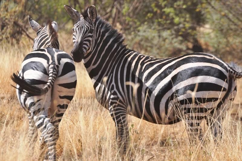 Zebra Burchell in Nechisar National Park, Arba Minch, Ethiopia