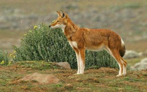 Abyssinian wolf, endemic Ethiopia mammal, in Bale Mountains, Ethiopia