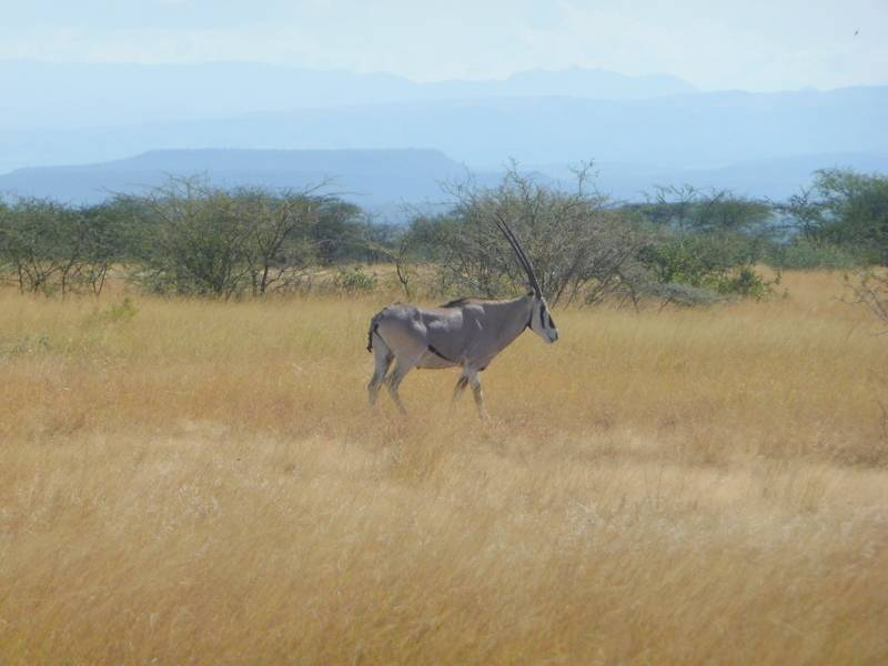 Oryx in Awash National Park, East Ethiopia