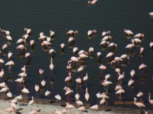 flamingoes in Shitu Lake, Rift Valley lakes, Ethiopia