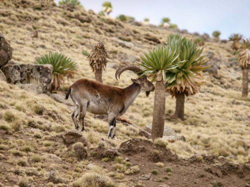 Walia Ibex, endemic Ethiopia mammal, in Simien Mountains