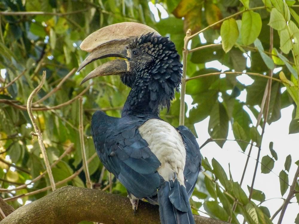 Great Hornbill, Ethiopia endemic bird