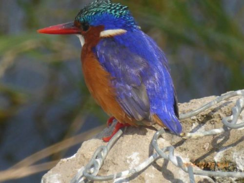 Kingfisher Bird, Ethiopia
