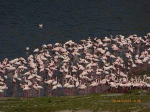 Flamingos in Shitu Lake, Rift Valley, South Ethiopia