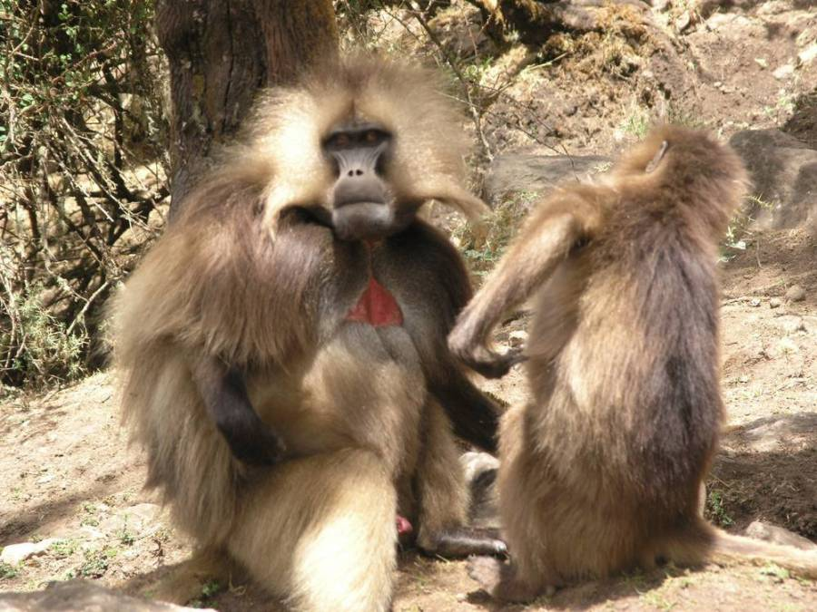 Gelada Baboons endemic mamals in Simien Mountains Ethiopia