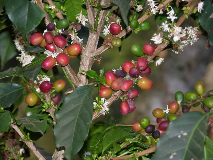 coffee tree, Bebeka coffee plantation, West Ethiopia
