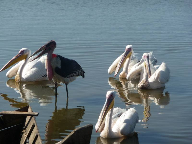 Pelicans Bird watching in Awassa Lake,, Rift Valley lakes, South Ethiopia