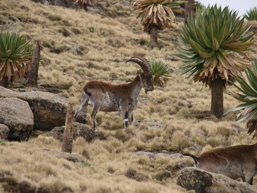 Walia Ibex in Simien Mountains, Ethiopia