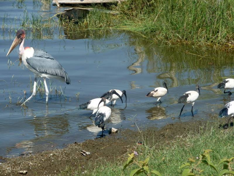 Bird watching in Awassa Lake, Rift Valley, South Ethiopia