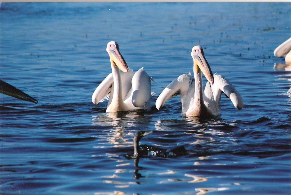 Pelican Bird watching in Chamo lake, Rift Valley, South Ethiopia