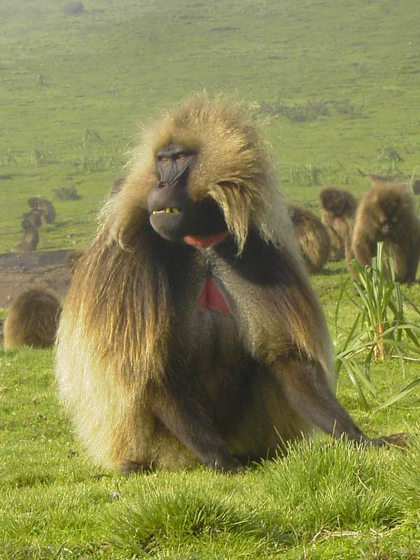 Gelada Baboon endemic mamals in Simien Mountains, Ethiopia