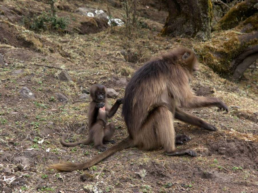 Gelada Baboons endemic mamals in Simien Mountains, Ethiopia