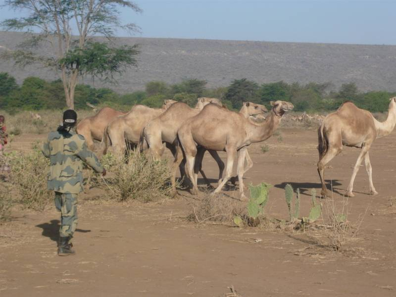 Camels in Danakil, North Ethiopia