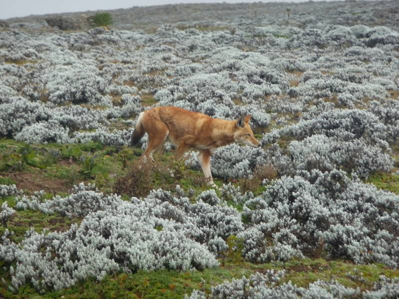 Abyssinian fox in Bale Mountains, south Ethiopia